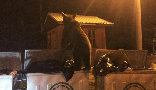 Bursa'da aç kalan ayı çöpte yiyecek aradı