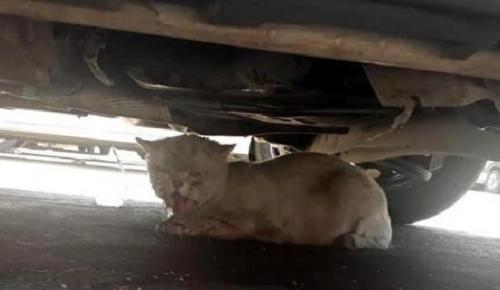 Minibüsün motoruna giren kedi 50 km yolculuk yaptı